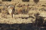 Go to Bill`s Coyote Hunting web pages